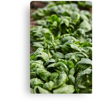 Spinach ready for harvest Canvas Print