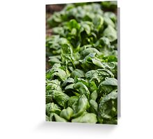 Spinach ready for harvest Greeting Card