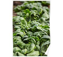 Spinach ready for harvest Poster