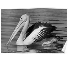 Pelican in Black and White Poster