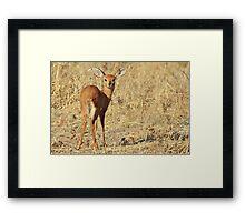 Steenbok - Shy and Elusive Beauty - Cute African Wildlife Framed Print
