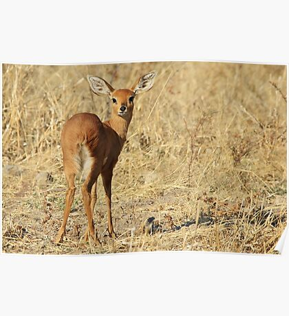 Steenbok - Shy and Elusive Beauty - Cute African Wildlife Poster