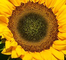 big sunflower by stresskiller