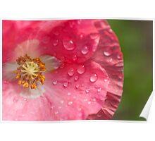 wet pink poppy Poster