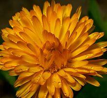 Calendula marigold by stresskiller