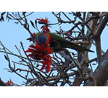 Rosella high in the tree Photographic Print