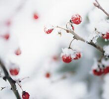 Winter Red Berries by Debbra Obertanec