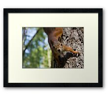 Brave and curious red squirrel Framed Print