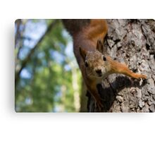 Brave and curious red squirrel Canvas Print