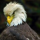 American Bald Eagle by Cee Neuner