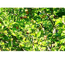 Crab apple tree Photographic Print