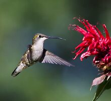 Graceful Hummingbird in Flight by Christina Rollo