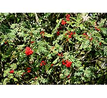 Red berrie tree Photographic Print