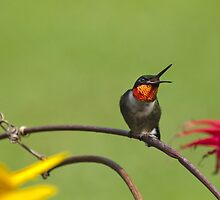 Hummingbird With Beak Open by Christina Rollo