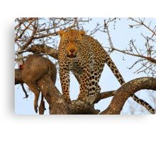 Male leopard with catch! Canvas Print