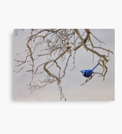 Splendid - the brilliant blue Splendid Fairy-wren Canvas Print