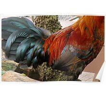 Oahu Rooster Poster