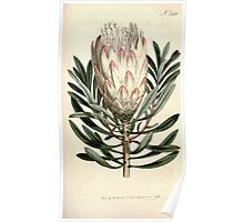 The Botanical magazine, or, Flower garden displayed by William Curtis V9 V10 1795 1796 0128 Protea Mellifera Honey Bearing Protea Poster