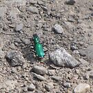 Six-spotted Tiger Beetle by caybeach