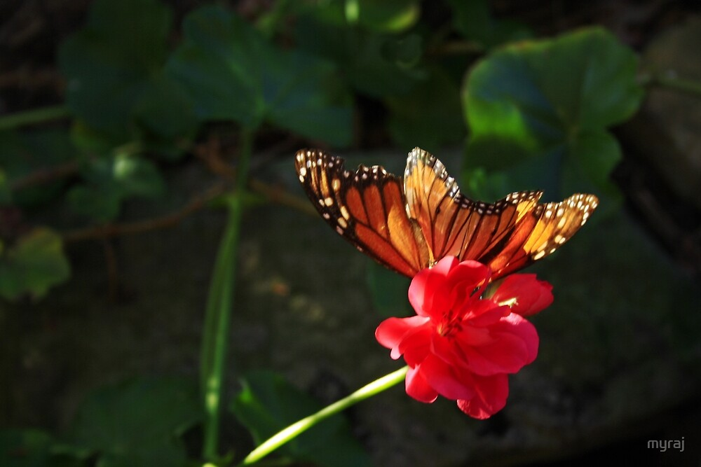 Monarch Butterfly on a Pink Geranium by myraj