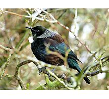 Me Boisterous... Never! - Tui NZ Photographic Print