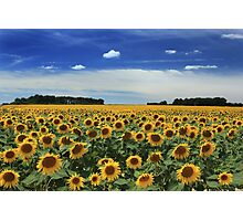 Sunflowers, Vienne Photographic Print