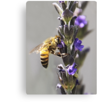 Mr. Bumble In the Lavender Canvas Print