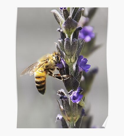 Mr. Bumble In the Lavender Poster