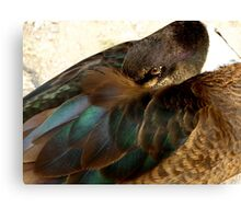 Beautiful Duck at Llwyn-yr-eos Farm Canvas Print