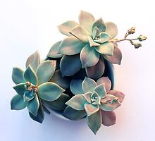 Succulent in Evening Light by micklyn