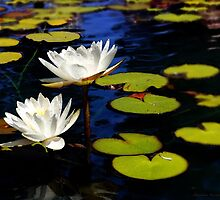 Lilly Pads In Bright Sun by Larry3