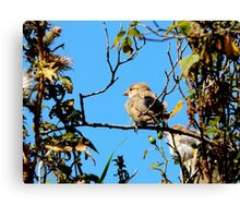 House Sparrow at Llwyn-yr-eos Farm Canvas Print