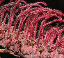 Grevillea thyrsoides subsp.thyrsoides by andrachne