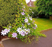 A Welcoming Clematis by Fara