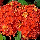 Ixora by Graeme  Hyde