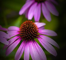 Echinacea Coneflower by damhotpepper