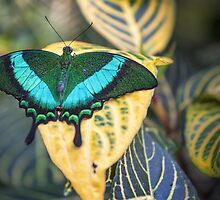 Emerald Peacock by PhotosByHealy