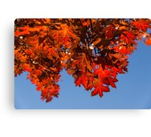 More Than Fifty Shades Of Red - Glossy, Leathery Oak Leaves in the Sunshine - Downward Canvas Print