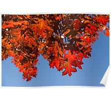 More Than Fifty Shades Of Red - Glossy, Leathery Oak Leaves in the Sunshine - Downward Poster