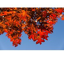 More Than Fifty Shades Of Red - Glossy, Leathery Oak Leaves in the Sunshine - Downward Photographic Print