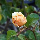 Misty Buterscotch Rose by Halina Plewak