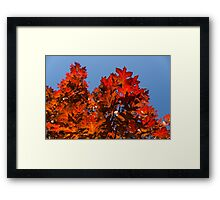 More Than Fifty Shades Of Red - Glossy Leathery Oak Leaves In The Sunshine - Upward Framed Print