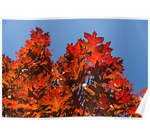 More Than Fifty Shades Of Red - Glossy Leathery Oak Leaves In The Sunshine - Upward Poster