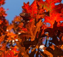 More Than Fifty Shades Of Red - Glossy Leathery Oak Leaves In The Sunshine - Upward Sticker