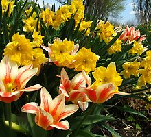 Tulips and Daffs by MarianBendeth