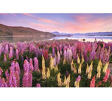Lake Tekapo Lupins Photographic Print