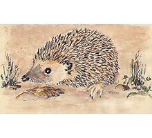 Hedgie, the African Hedgehog Photographic Print