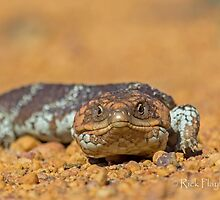 The Shingle back AKA Bobtail Lizard by Rick Playle
