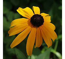 Golden glow of a black-eyed Susan Photographic Print
