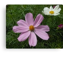 Pink and White Cosmo Flowers Canvas Print